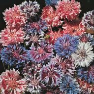 Frosted Queen Mix (Centaurea)