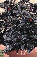 Black Pearl (Capsicum)