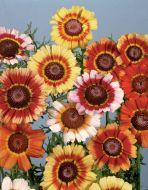 Single Annual Mix (Chrysanthemum)