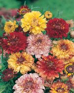 Carinatum Dunnetti Choice Mix (Chrysanthemum)
