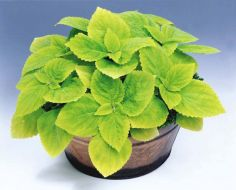 Giant Exhibition Limelight (coleus)