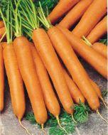 Touchon Deluxe (Carrot/nantes/O/P)