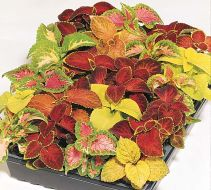 Wizard Mix (Coleus)