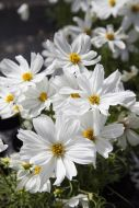 Apollo White (Hybrid/Cosmos)