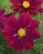 Sonata Purple Shades (Cosmos)