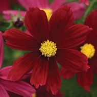 Sonata Red Shades (Cosmos)