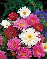 Double Click Mix (Cosmos/large flowered tall)