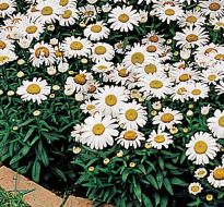 Snow Lady (Chrysanthemum)