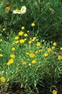 Multicaule (Chrysanthemum)