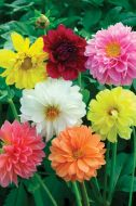 Large Flowering Double Mix (Dahlia/Tall Grandiflora Mix)