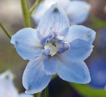 Magic Fountains Sky Blue/white bee (Delphinium)