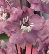 Magic Fountains Cherry Blossom (Delphinium)