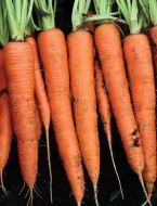SV4128DL (Carrot/hybrid/early)