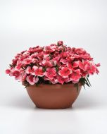 Coronet Strawberry (Dianthus/pelleted)