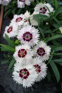 Diana Loving White (Dianthus)