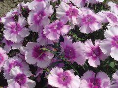 Diana Lavender Picotee (Dianthus)