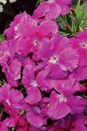 Diana Blueberry (Dianthus)