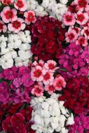Coronet New Mix (Dianthus/pelleted)