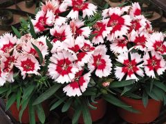 Super Parfait Red Peppermint (Dianthus)