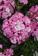 Rockin' Pink Magic (Sweet William/Barbatus)