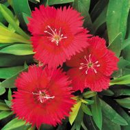 Ideal Select Red (Dianthus)
