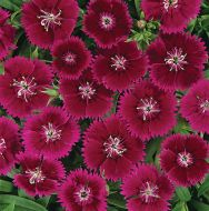Ideal Select Violet (Dianthus)