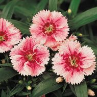 Ideal Select Whitefire (Dianthus)