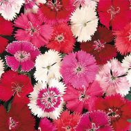 Ideal Select Mixture (Dianthus)