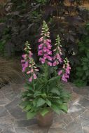 Panther (Digitalis/pelleted)