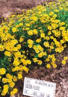 Golden Fleece (Dahlberg Daisy)