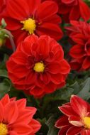 Figaro™ Red (Dahlia)