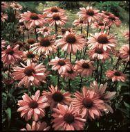 Bright Star (Echinacea)