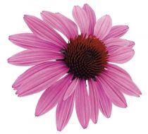 Prairie Spendor® Deep Rose (Echinacea)
