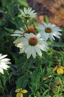 PowWow® White (Echinacea)
