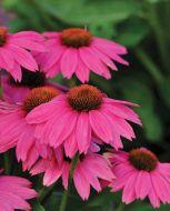 PowWow® Wild Berry (Echinacea)