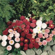 Envy (Carrot/hybrid/early)