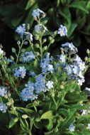 Mon Amie Blue (Myosotis)