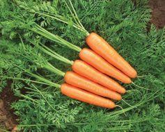 Goldfinger (Carrot/baby & Nantes/hybrid)