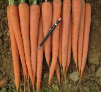Rebel (Carrot/hybrid/Nantes x Imperator)