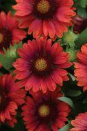 Mesa™ Red (Hybrid Gaillardia)