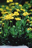 Mesa™ Yellow (Gaillardia)