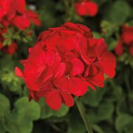 Multibloom Red (Geranium)