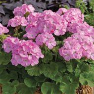 Multibloom Lavender (Geranium)