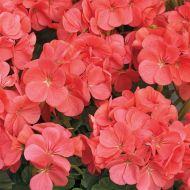 Multibloom Capri (Geranium)