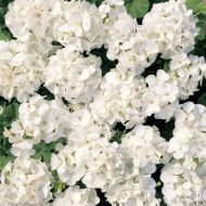 Multibloom White (Geranium)
