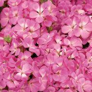 Multibloom Pink (Geranium)