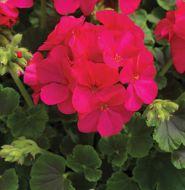 Multibloom Violet (Geranium)