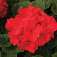 Maverick Red (Geranium)
