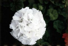 Maverick White (Geranium)