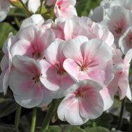 Maverick Appleblossom (Geranium)